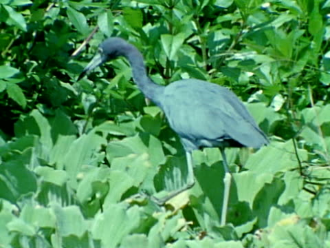 great blue heron walking on water lettuce - great blue heron stock videos and b-roll footage