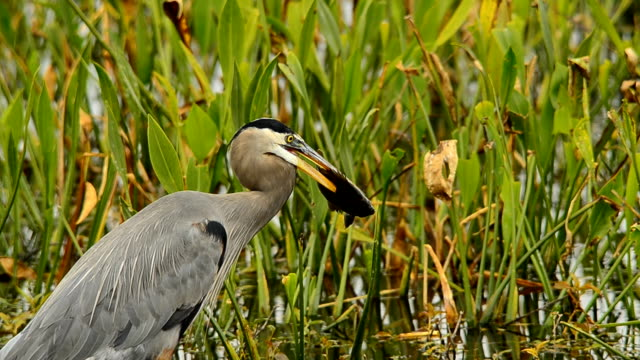 great blue heron with fish impaled on its beak - great blue heron stock videos and b-roll footage
