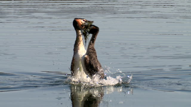great crested grebe courtship dance ritual 'weed dance' - full dance medium close up - djur som parar sig bildbanksvideor och videomaterial från bakom kulisserna