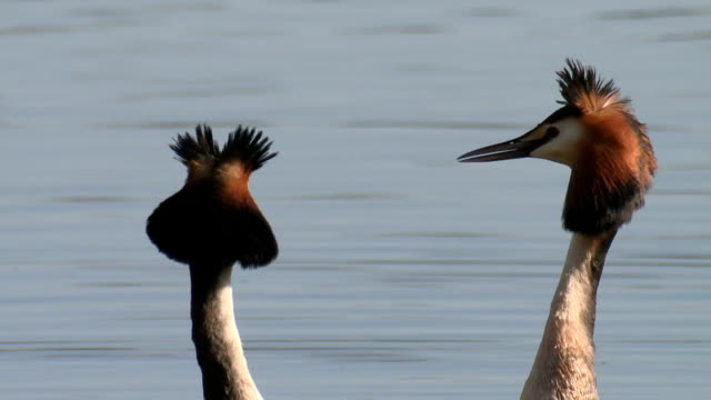 great crested grebe courtship dance ritual 'weed dance' - head shaking, close up neck and heads - djur som parar sig bildbanksvideor och videomaterial från bakom kulisserna