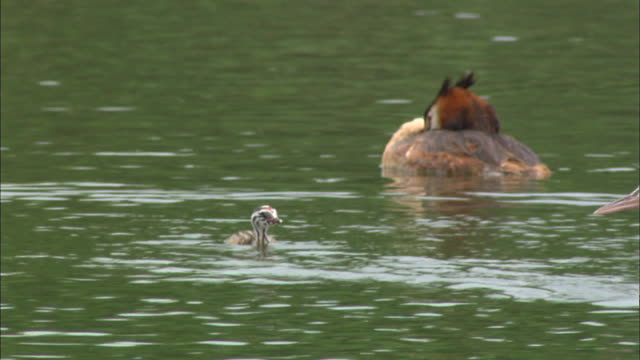 great crested grebe family swimming in sihwa lake, ansan, kyonggi-do province, south korea - kyonggi do province stock videos and b-roll footage