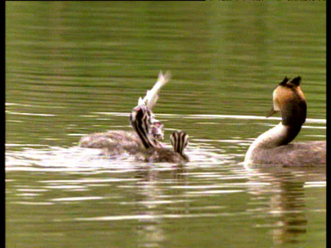 great crested grebe gives chick huge fish, it attempts to swallow it with great difficulty, uk - 褒美点の映像素材/bロール