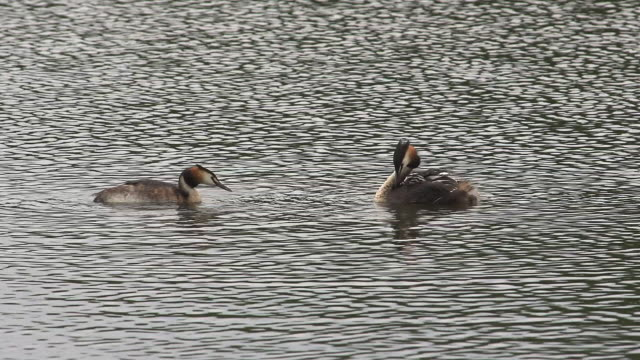 'Great Crested Grebe, podiceps cristatus, Pair with Chicks on Pond, Adult with Youngs on its Back, La Dombes in the South East of France, Real Time'