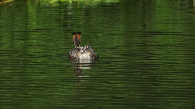 a great crested grebe, podiceps cristatus, swimming on a river with two of it babies on its back. - small group of animals stock videos & royalty-free footage