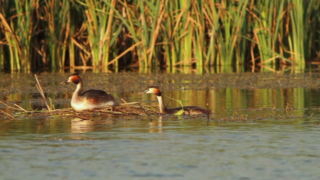 stockvideo's en b-roll-footage met great crested grebe - meer dan 50 seconden