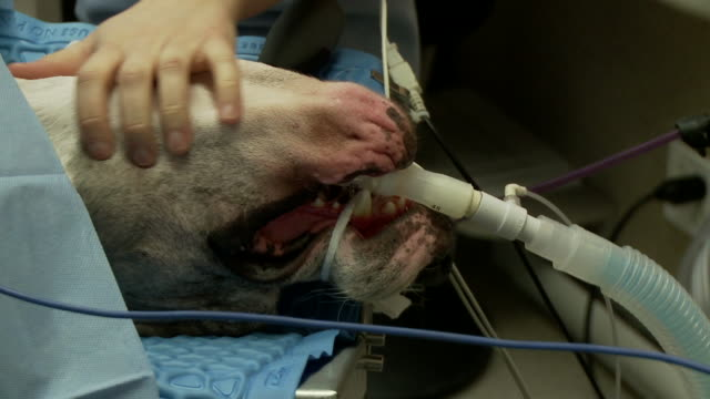 CU of great dane during gastric surgery