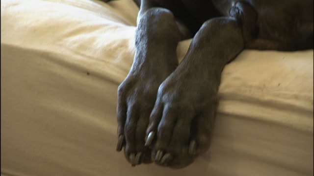 a great dane rests on a sofa. - 動物の足点の映像素材/bロール