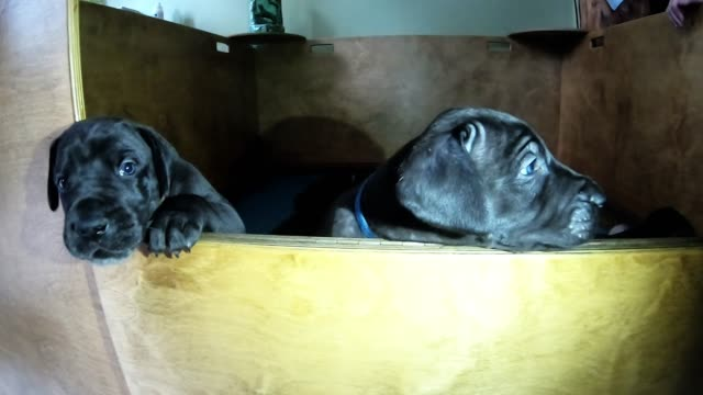 great danes are one of the most loyal and loving dog breeds imaginable. they are excellent companions and true family members. this litter of... - new age stock videos & royalty-free footage