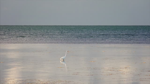 great egret aka white heron hunting in the shallow waters of the florida keys - great egret stock videos and b-roll footage