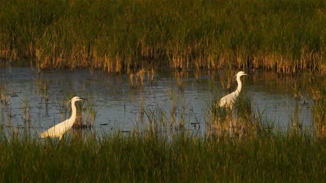 great egret, ardea alba, camargue, france - heron stock videos & royalty-free footage