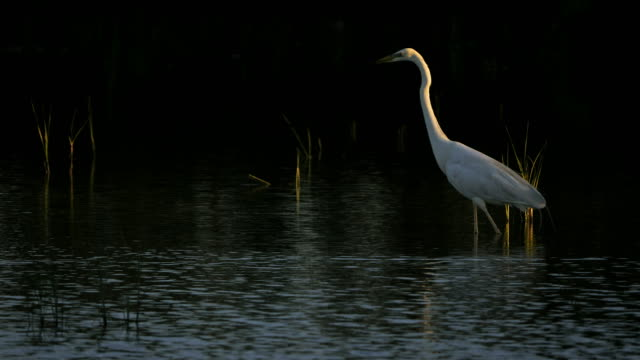 great egret, ardea alba, camargue, france - bunter reiher stock-videos und b-roll-filmmaterial