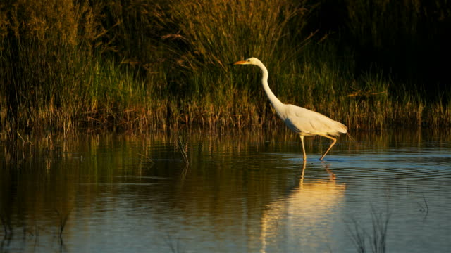 great egret, ardea alba, camargue, france - egret stock videos and b-roll footage