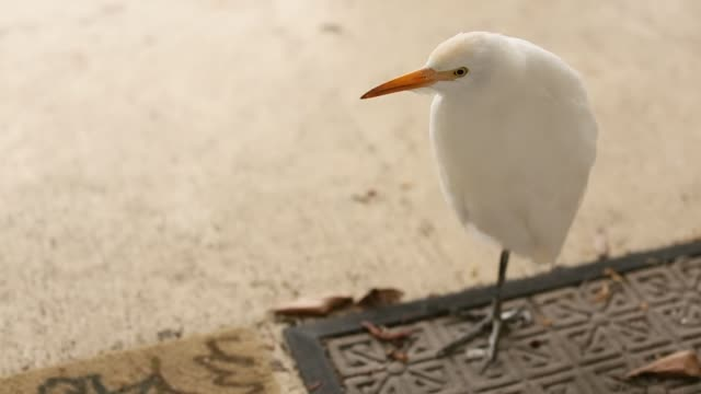 great egret bird - great egret stock videos & royalty-free footage