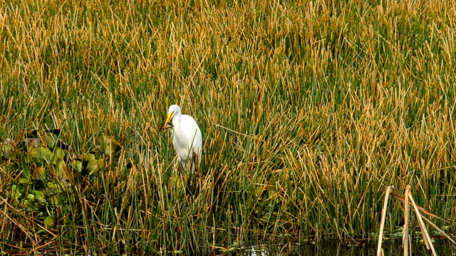 great egret catches and sends flapping fish down throat - great egret stock videos and b-roll footage