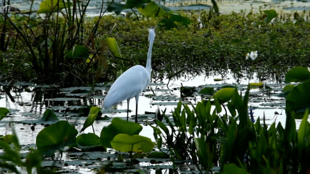 great egret catches and swallows large fish - water bird video stock e b–roll
