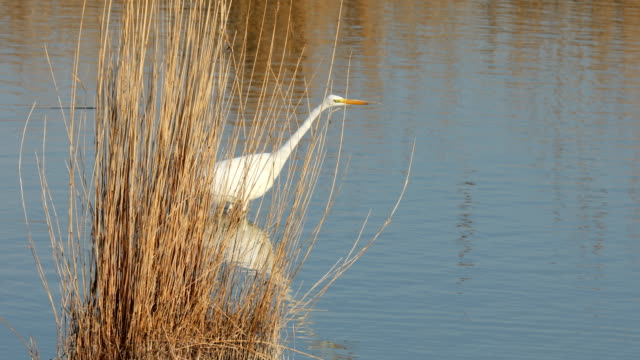great egret fishing in ebro's delta - great egret stock videos and b-roll footage