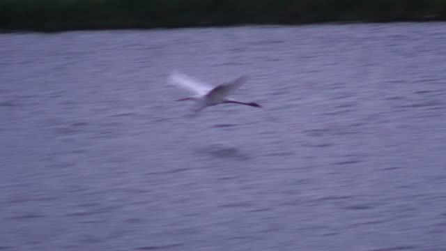 great egret flying above the water - hd 60i - egret stock videos & royalty-free footage