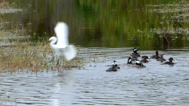 great egret flying into a marsh with a small flock of hooded mergansers swim past - egret stock videos and b-roll footage