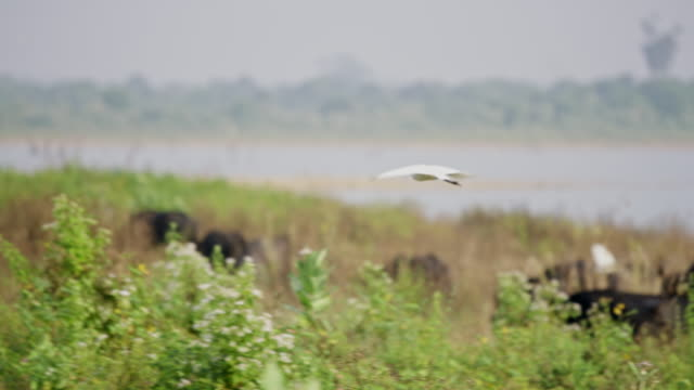 ms great egret flying over water buffalo at riverside,sri lanka - great egret stock videos & royalty-free footage