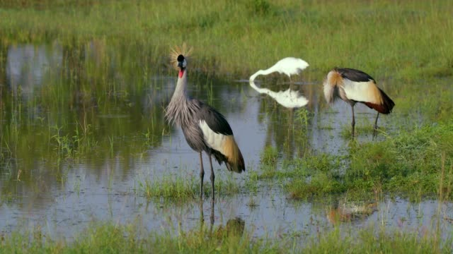 great egret & grey crowned crane in natural pond, maasai mara, kenya, africa - reihergattung egretta stock-videos und b-roll-filmmaterial