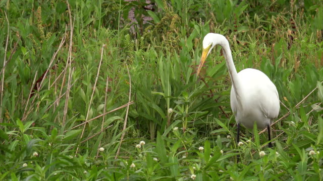 great egret hunting in a marsh along pintail wildlife drive at cameron prairie national wildlife refuge in louisiana - great egret stock videos and b-roll footage