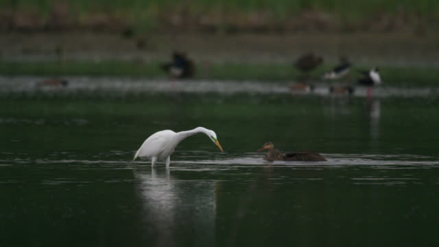 vídeos y material grabado en eventos de stock de great egret hunting in water - great egret