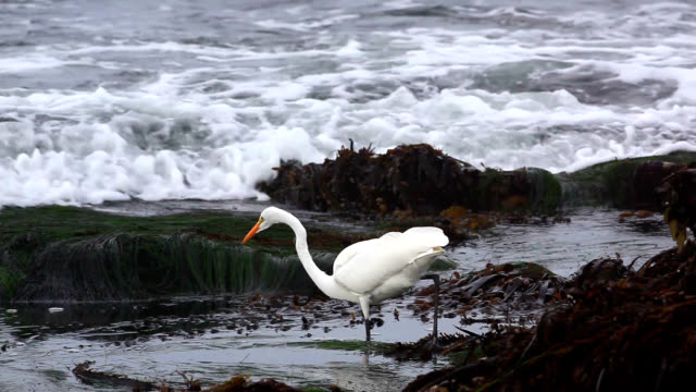 great egret hunting - bird hunting stock videos & royalty-free footage