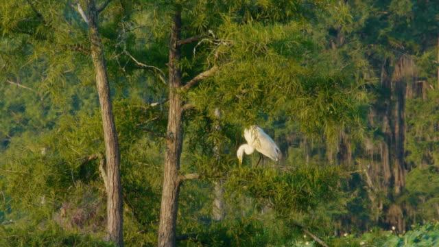 vídeos de stock, filmes e b-roll de great egret in cedar tree, caddo lake, on the texas/louisiana border - great egret