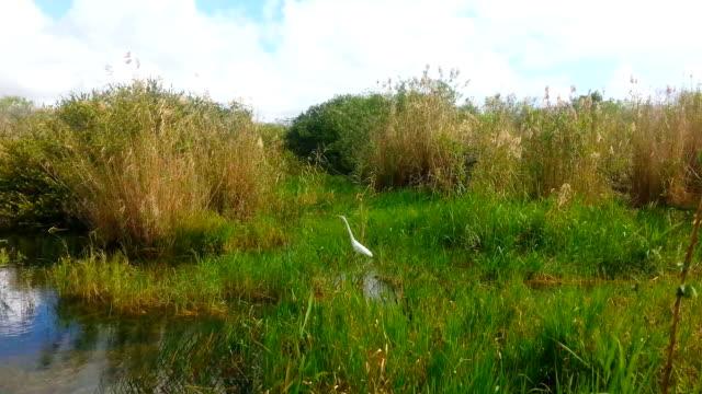 Silberreiher im Everglades Park, Florida