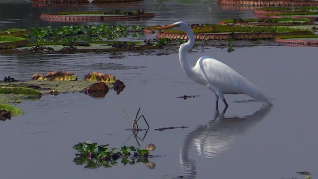 great egret in lily pond, pantanal, brazil - great egret stock videos & royalty-free footage
