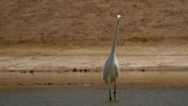 great egret (ardea alba) in natural habitat - great egret stock videos and b-roll footage