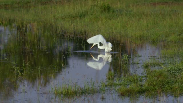great egret in natural pond, maasai mara, kenya, africa - reihergattung egretta stock-videos und b-roll-filmmaterial
