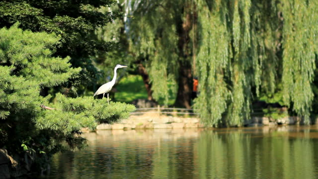 ms great egret in pond  / seoul, seoul, south korea  - great egret stock videos and b-roll footage