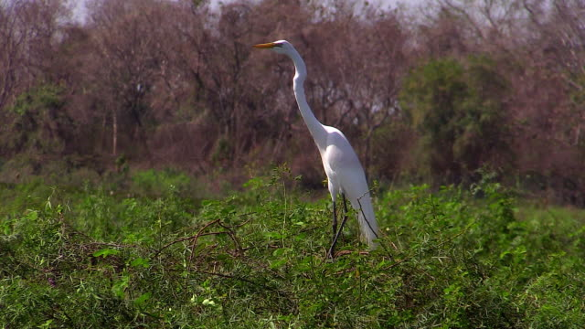 great egret in the wetlands of the pantanal, brazil - great egret stock videos & royalty-free footage