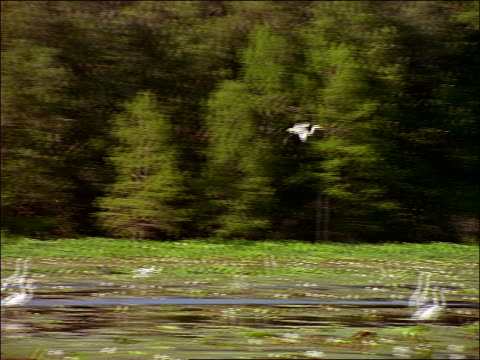 vídeos y material grabado en eventos de stock de great egret landing in swamp filled with other egrets / caddo lake, texas - 1996