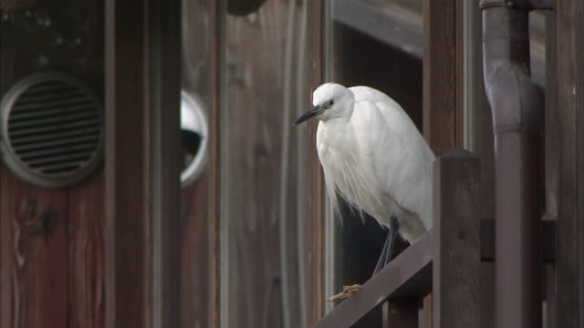 ms great egret (ardea alba) on wooden rail, gion, kyoto, japan - great egret stock videos & royalty-free footage