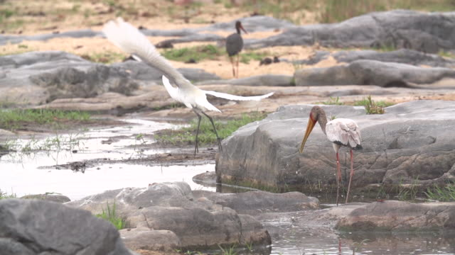 great egret slips whilst taking off, kruger national park, south africa - nightdress stock videos & royalty-free footage
