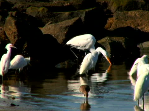 great egret, snowy egret - egret stock videos and b-roll footage