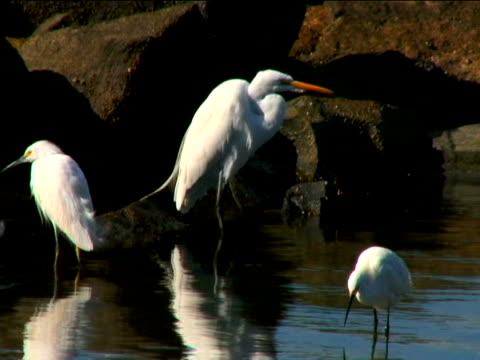 vidéos et rushes de great egret, snowy egret - groupe moyen d'animaux