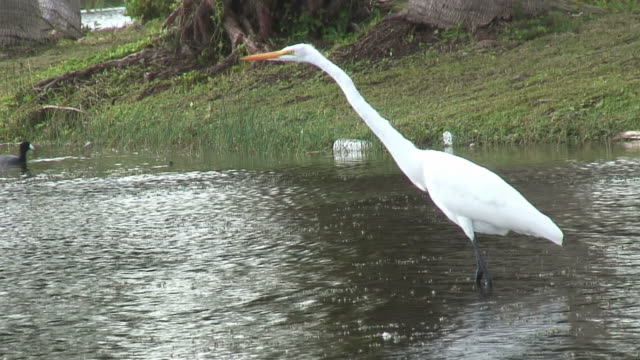 great egret stretched 1 - hd 60i - animal neck stock videos & royalty-free footage