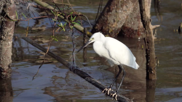 great egret stretching - great egret stock videos and b-roll footage