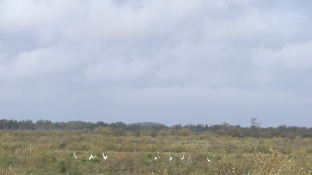 great egret - great egret stock videos and b-roll footage