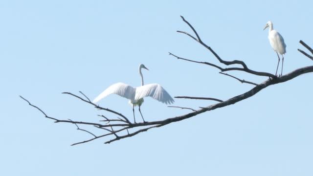 vídeos de stock, filmes e b-roll de grande egret (ardea alba) - great egret