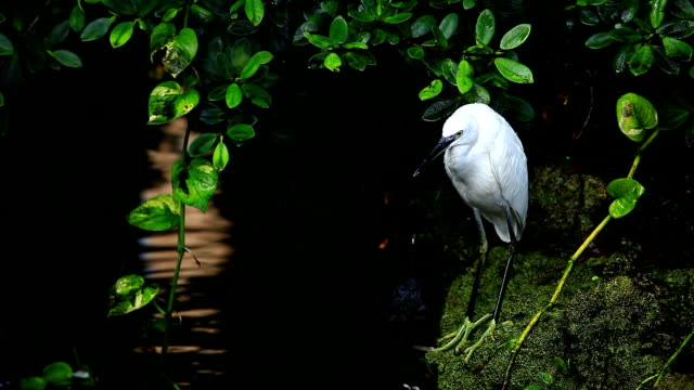 great egret - egret stock videos and b-roll footage