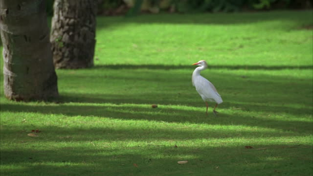 ws, pan, great egret (area alba) walking on lawn - reihergattung egretta stock-videos und b-roll-filmmaterial