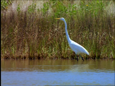 great egret walking slowly in shallow water near grassy shore / padre island, texas - aquatic organism stock videos & royalty-free footage