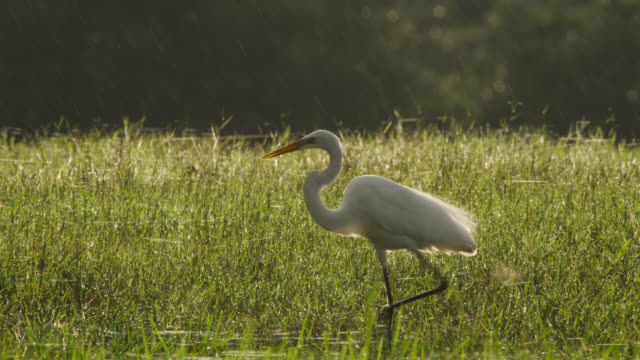 great egret (egretta alba) walks through wetlands coated in gossamer. - great egret stock videos and b-roll footage