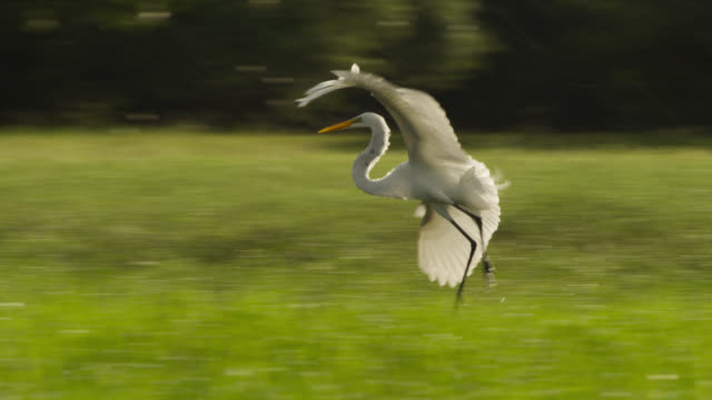 great egrets (egretta alba) fly over wetlands and drive away rufescent tiger heron (tigrisoma lineatum). - bunter reiher stock-videos und b-roll-filmmaterial