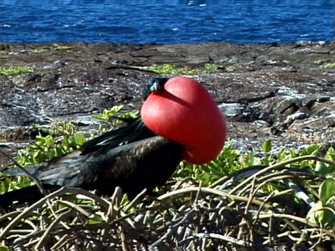 great frigatebird with inflated throat pouch - animal neck stock videos & royalty-free footage