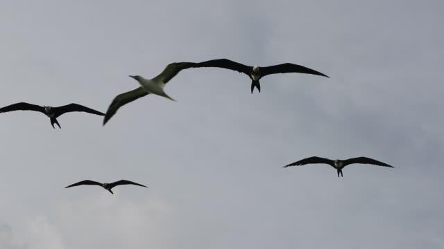 vídeos y material grabado en eventos de stock de great frigatebirds (fregata minor) and red-footed boobys (sula sula) soaring in sea breeze - alcatraz patirrojo